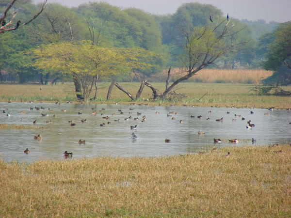 Birds at Sultanpur bird sanctuary