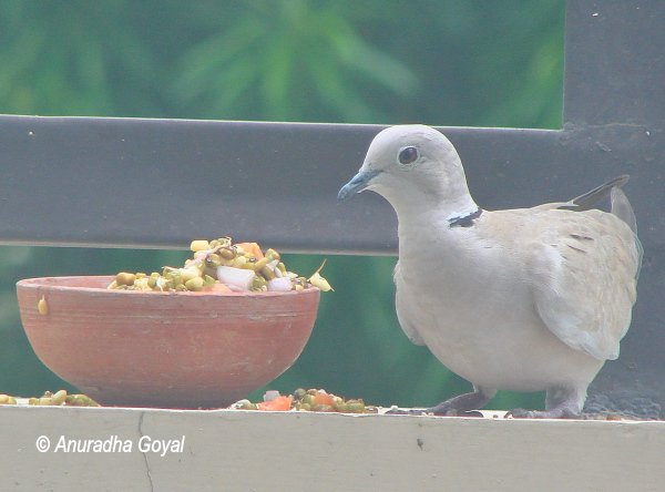 Eurasian-collared Dove bird on compound wall by salad pot - Birds in my garden