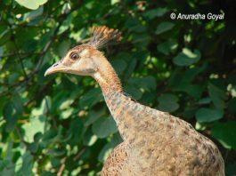 Juvenile Peafowl