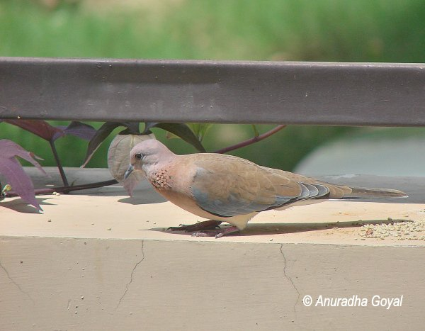 Laughing Dove on compound wall by grains