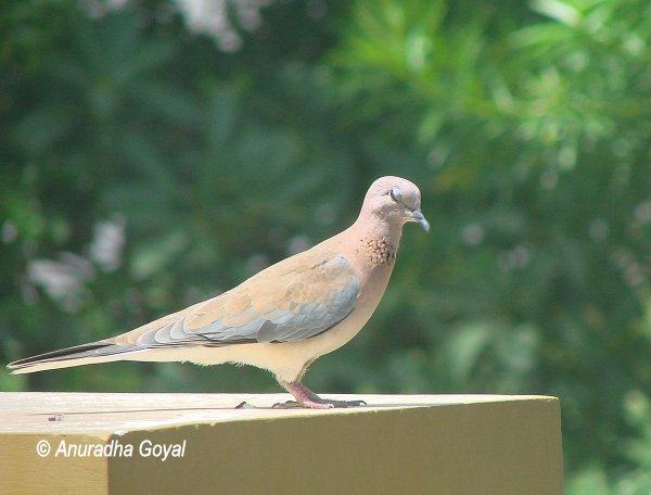 Laughing Dove winking
