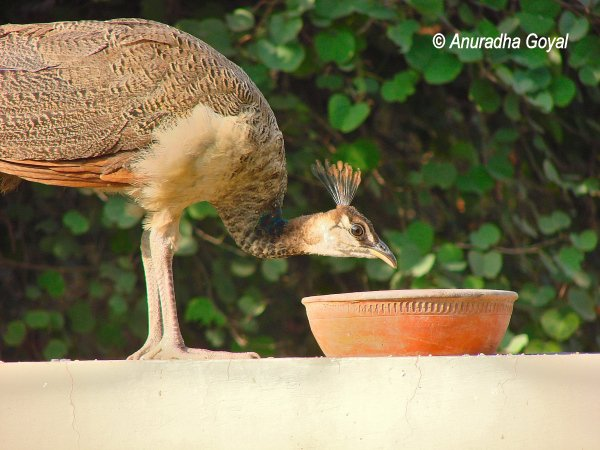Peafowl relishing the grains from earthen pot