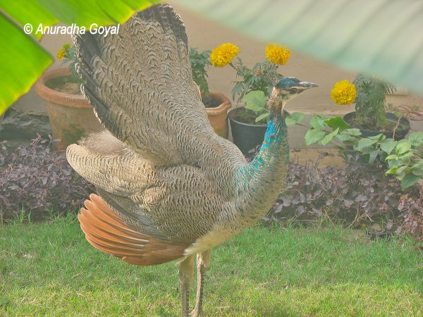 Peafowl strolling in my garden