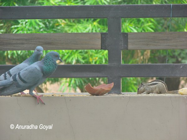 Rock Pigeon birds & Squirrel looking at spread-out grains