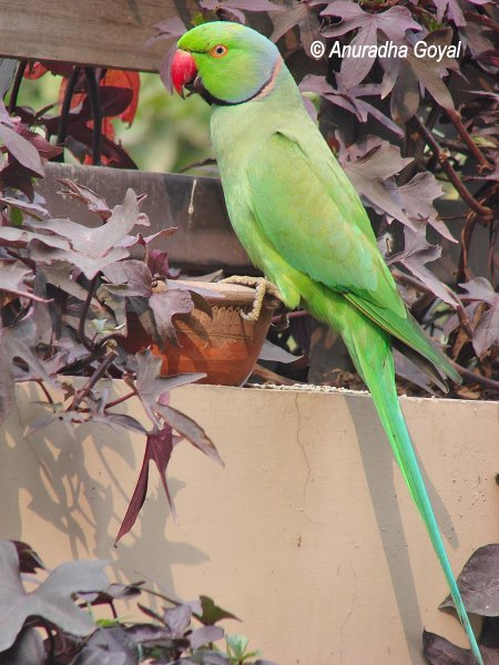 Rose-ringed Parakeet on the earthen pot - Birds in my garden