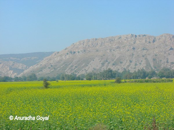 Mustard fields landscape en route to Alwar