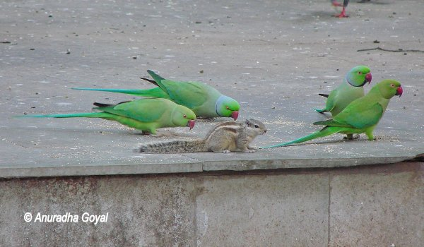 You cannot miss Parakeets at Lodi Gardens
