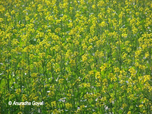 Yellow mustard fields en route to Alwar