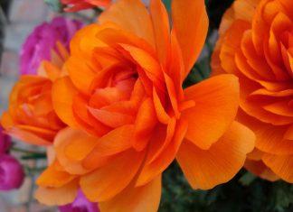 Rose flower at Garden of 5 Senses