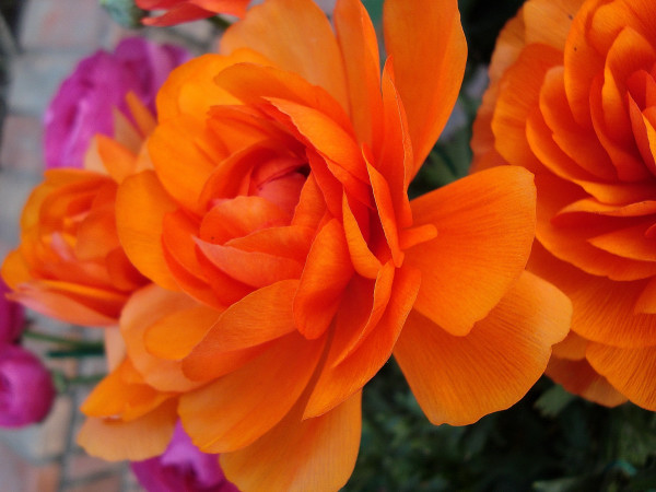 Orange colored Rose flower
