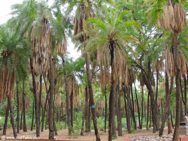 Palm Trees in Indira Park