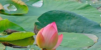 Lotus Flower at Lotus Pond, MLA Colony, Hyderabad
