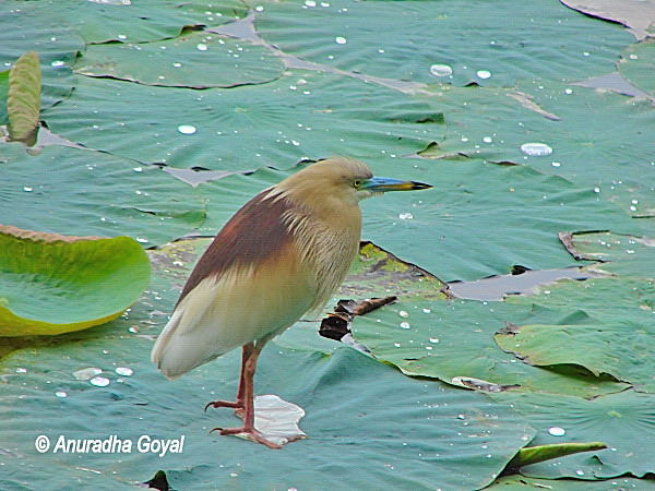Pond Heron on Lotus leaf