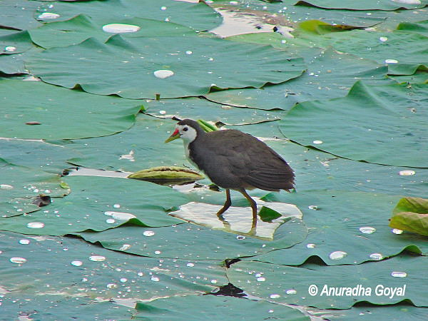 White-breasted Waterhen on the Lotus leaf