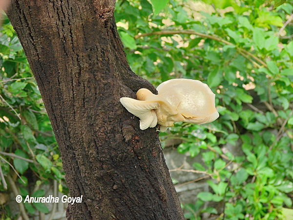 Wild Mushroom's growing on tree trunk