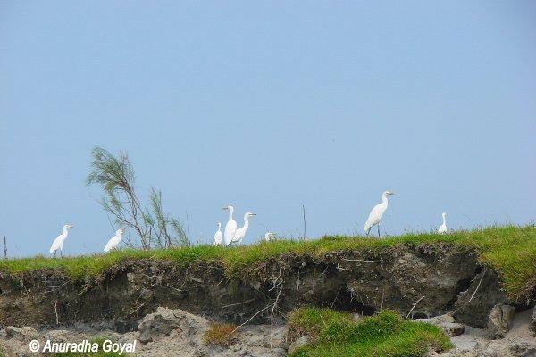 Birds by Brahmaputra river bank