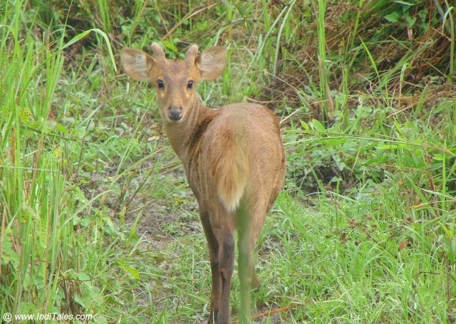 Perfect pose by the Deer at Kaziranga national park