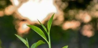 Fresh light green colored Tea leaf