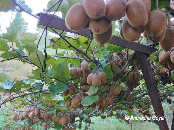 Kiwi fruits orchard