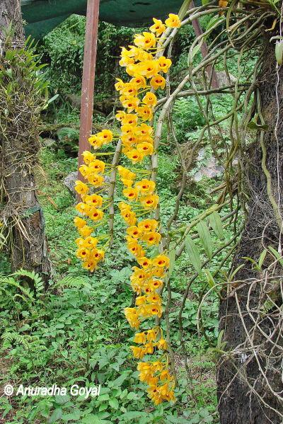Orchids blooming en route to Tenga Valley