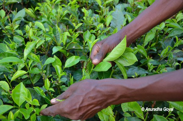 Plucking the leaf at the Tea Gardens of Assam