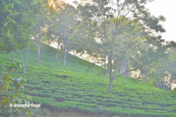 Lush green Tea Gardens of Assam