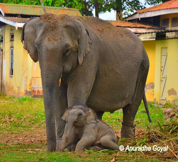 An Elephant with newborn calf at Kaziranga National Park