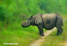 Single-horned Rhino calf at Kaziranga National Park