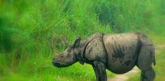 Single-horned Rhino calf at Kaziranga National Park
