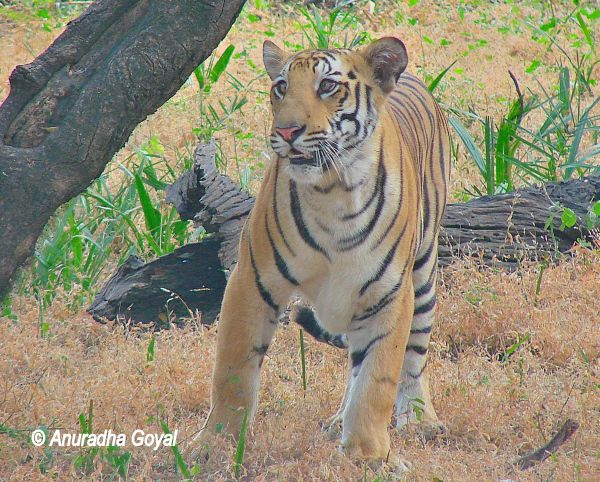 Bengal Tiger at Nehru Zoological Park, Hyderabad