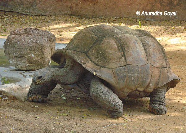 Tortoise at Nehru Zoo