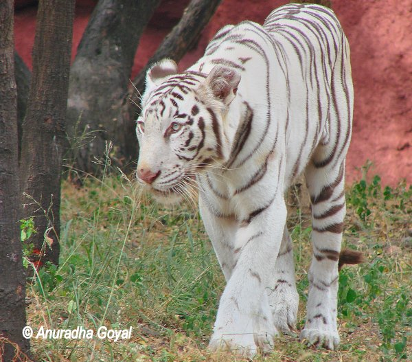 White Tiger at Nehru Zoo, Hyderabad