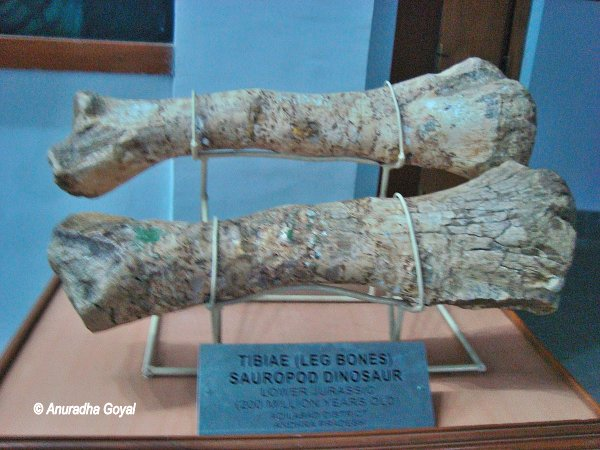 Dinosaur Leg Bones displayed at Birla Science Museum