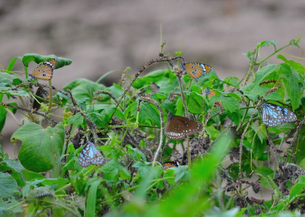 Variety of butterflies nesting near Jayabheri Lake