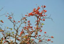 Forest Flame or Palash flower, Chhattisgarh
