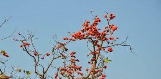 Forest Flame or Palash flower, Chhattisgarh