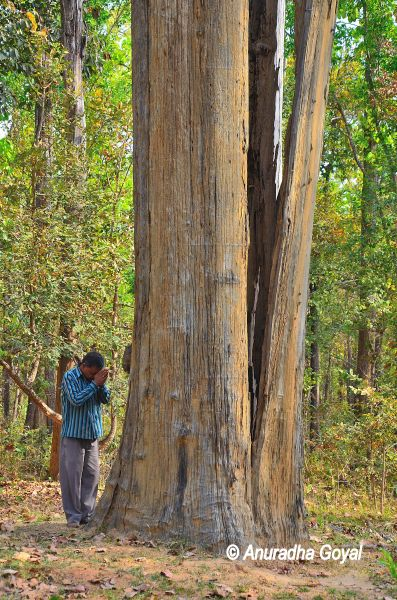 6 ft diameter old Sal tree trunk at Achanakmar Wildlife Sanctuary