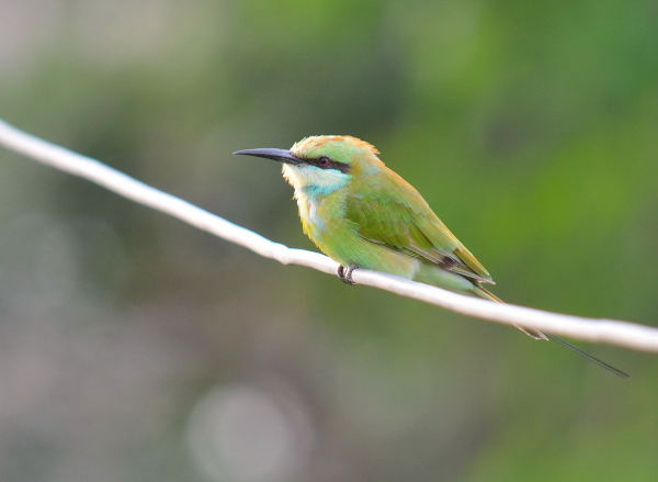 Green Bee Eater at Jayabheri Lake