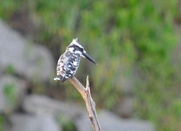Pied Kingfisher bird looking for a prey