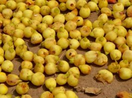 Mahua Flowers scattered on the ground