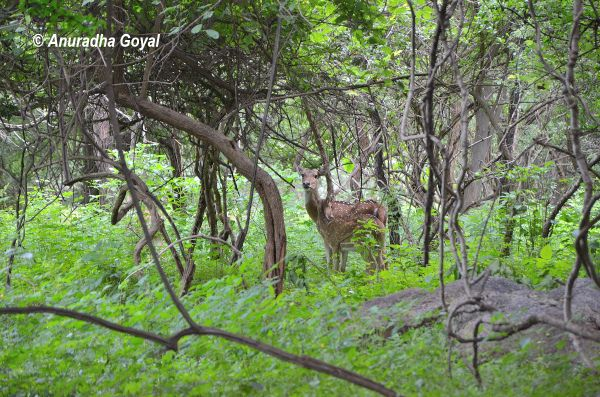 Spotted Deer at Pocharam Wildlife Sanctuary