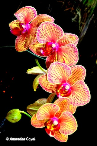 Happy New Year - Orchid Flower