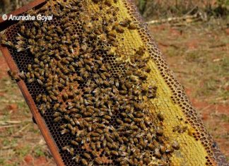 Honey bees and Beeswax on the frame, Honey-Making Box at Araku Valley