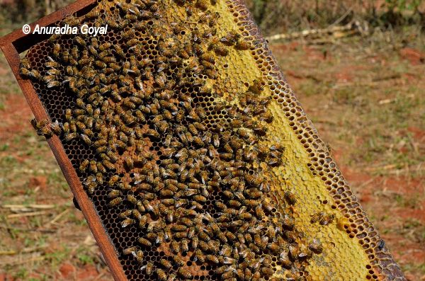 Honey bees and Beeswax on the frame of box at Araku Valley
