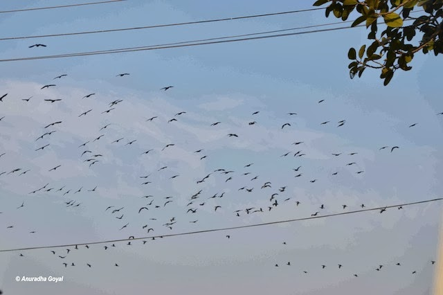 Birds galore at Ropar