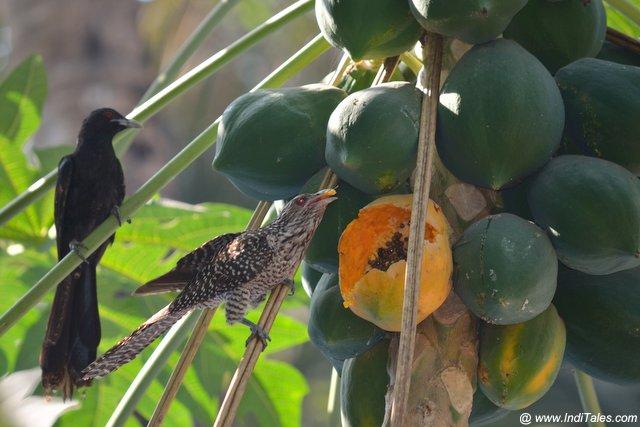 Asian Koel female bird savoring a ripe papaya fruit in the village