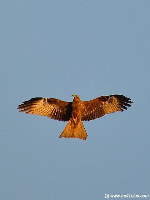 Black-Kite bird in-flight
