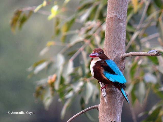 Close-up of White-throated Kingfisher bird