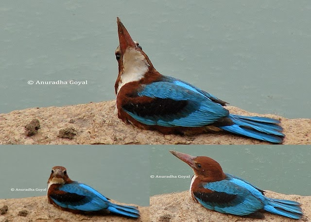 Collage of a juvenile White-throated Kingfisher bird