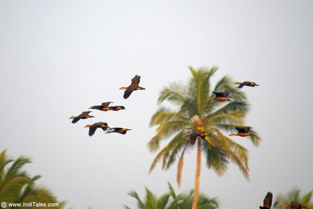 Lesser-whistling Ducks in-flight by the village pond